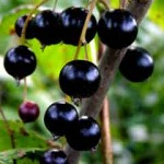 """the water delivery company cant get enough of blackcurrants 150x150 Our fave """"add water"""" drinks: Blackcurrant squash"""