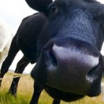Technology cow poop into water