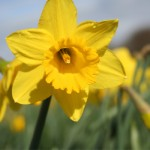 make daffodils with water cooler London